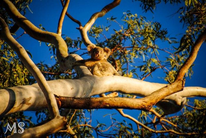 Spot a wild koala, Australia-2-2