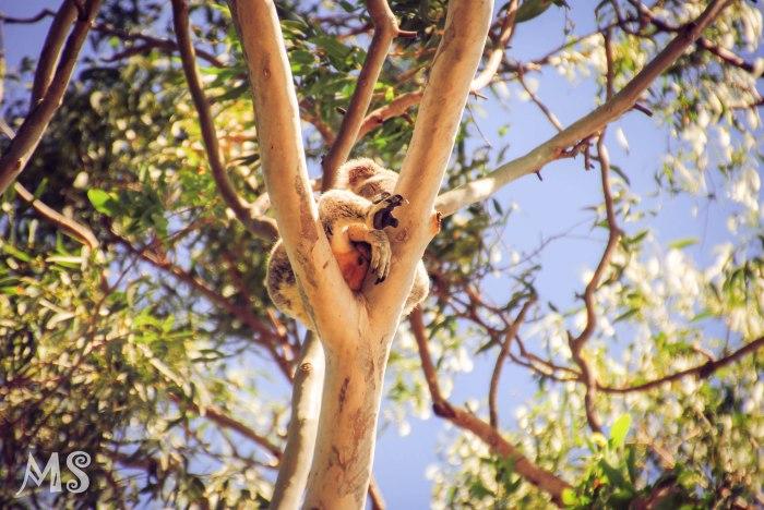 Spot a wild koala, Noosa Austalia 4-3-2